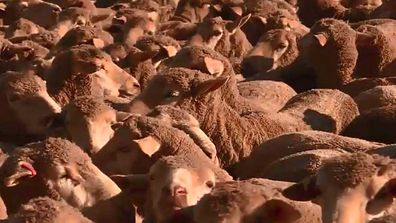 ACA reports on the new lamb labeling laws
