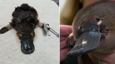 Baby platypus rescued by passer-by