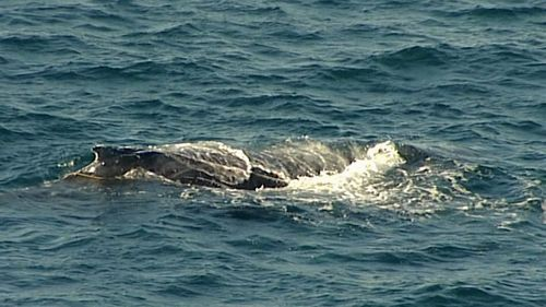 A humpback whale was spotted entangled in a shark net off Bondi Beach. Picture: 9NEWS