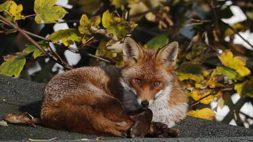 RSPCA investigating as Europhile lawyer Jo Maugham 'kills fox with baseball bat'