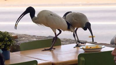 Restaurant forced to permanently patrol for thieving ibises