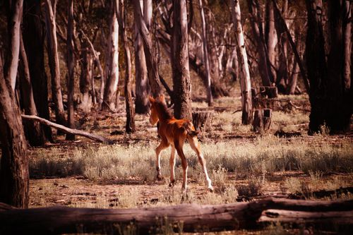 A foal seen in Barmah National Park.