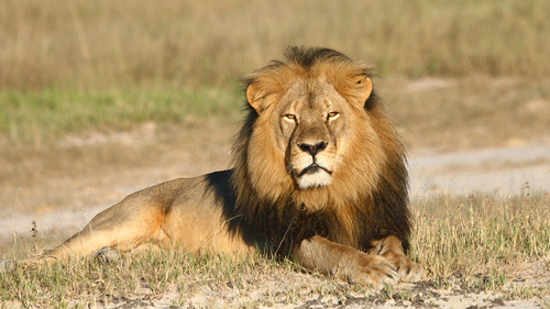 n this undated photo provided by the Wildlife Conservation Research Unit, Cecil the lion rests in Hwange National Park, in Hwange, Zimbabwe. (Andy Loveridge/Wildlife Conservation Research Unit via AP)