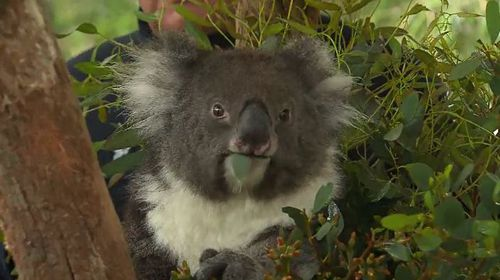 Five koalas have been selected to travel to England as part of an international ambassador conservation program.