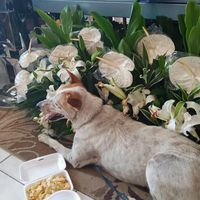 Grieving dog breaks hearts at teacher's wake
