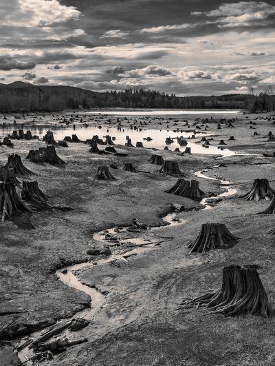 Stumps, Alder Lake, Nisqually River, Washington