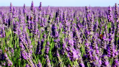 Feeling stressed? Take a hit of lavender