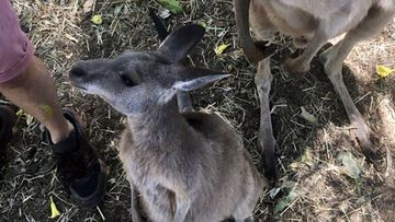 Baby kangaroo's were stuck without food after being evacuated from a sanctuary in fire affected Queensland.