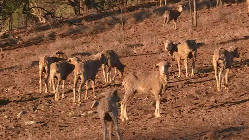 Large parts of New South Wales and Queensland are feeling the impact of the drought. Picture: 9NEWS