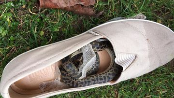 The python was taken into quarantine. Paul Airlie