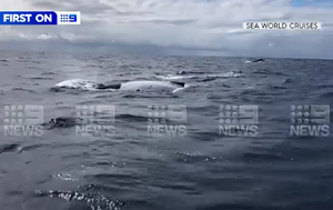 Rare mostly white whale Oreo sighted off Gold Coast