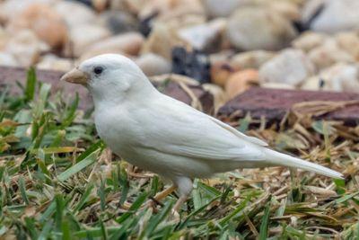 <p>Albino sparrow</p>