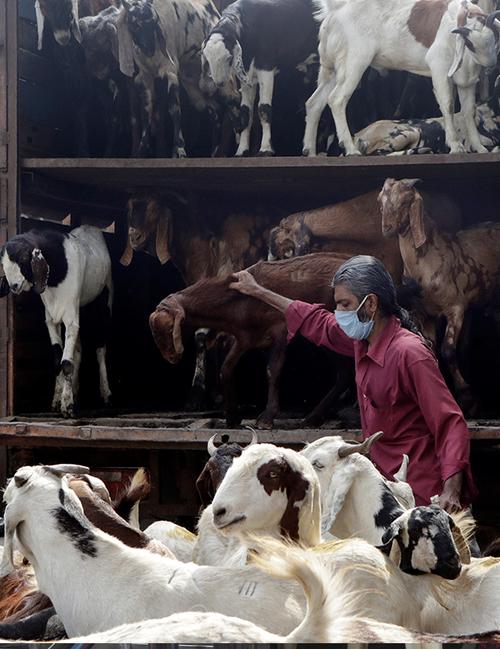A man unload goats from a truck ahead of Eid festival in Mumbai, India, Saturday, July 18, 2020.(AP Photo/Rajanish Kakade)