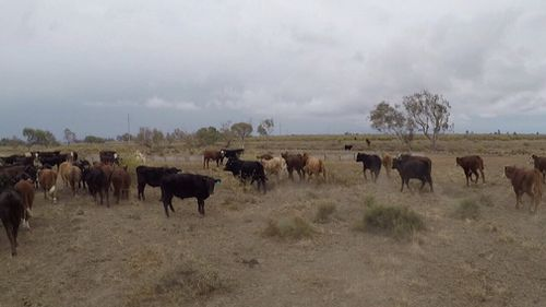Rainfall has brought only temporary relief for farmers in NSW and Queensland.