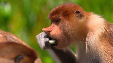 Proboscis Monkeys Malaysia