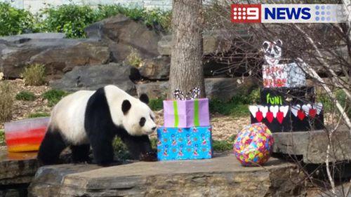 South Australia's giant panda Fu Ni celebrates ninth birthday