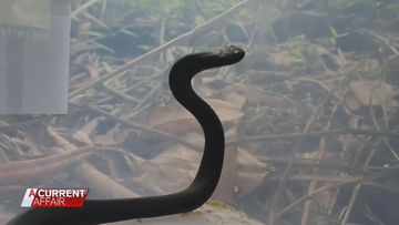 Snake catcher warns Aussie residents as temperatures rise