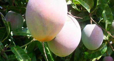 Mango farm harvest in Queensland