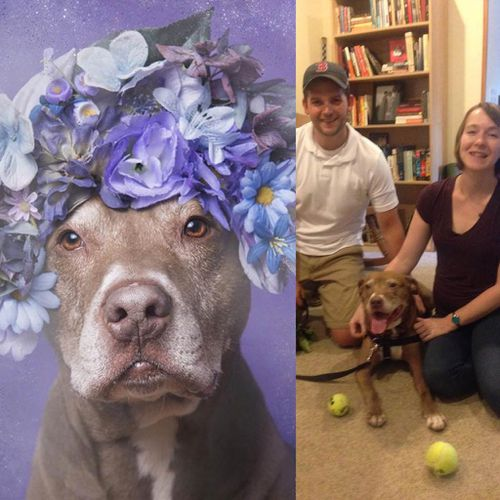 """""""Joey the Dog, the senior pittie I photographed for#pitbullflowerpower, has been adopted!"""" (Sophie Gamand Photography)"""