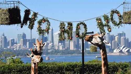 Giraffes enjoying the festive spirit at Sydney's Taronga Zoo (Image: AAP)