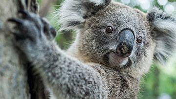 Koala (Getty)