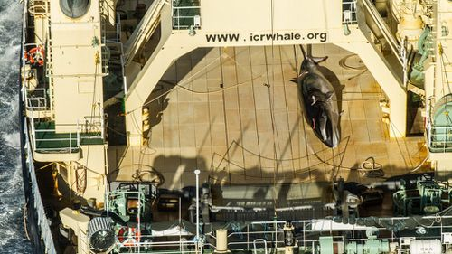 This photo allegedly shows a dead Antarctic mink whale onboard the Japanese vessel Nisshin Maru in Antarctic waters in the Australian Whale Sanctury in January 2017. (Image: AAP/Sea Shepherd)
