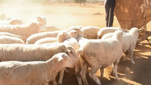 Di and John Hall rent out their land to sheep farmers, who are spending thousands on feed.