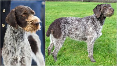 The German Wirehaired Pointer is one of the most popular breeds in Germany. Pictures: Wikipedia