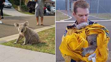 Koalas seek refuge from bushfires