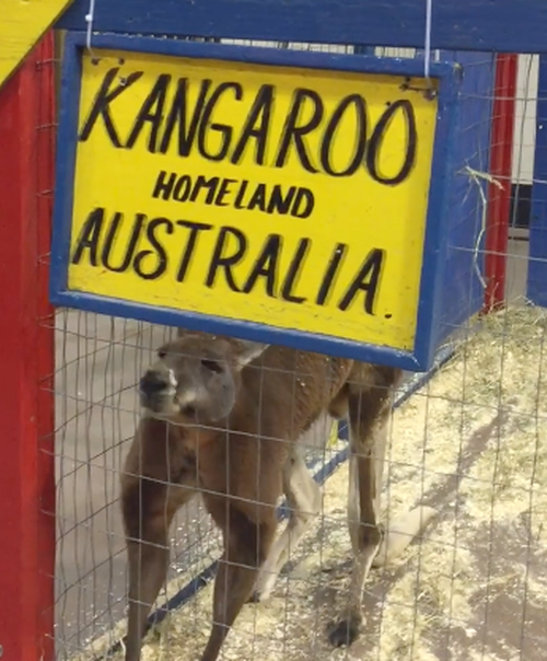 The Kangaroo is being held alone in cold conditions.