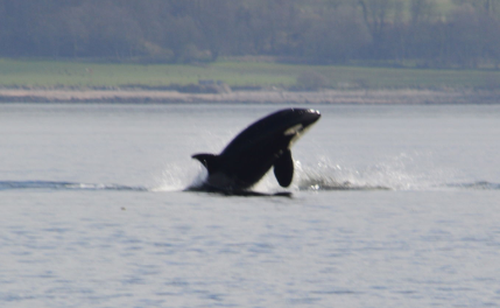 The pod, believed to include five adults and a youngster, were sighted near Dunoon. (AAP)