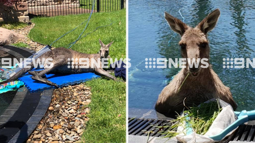 A Kangaroo has been making itself very comfortable, lounging around a pool in Melbourne's north-east.
