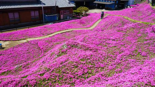 Thousands of flowers grew on the farm. (Facebook/Yoshiyuki  Matsumoto)