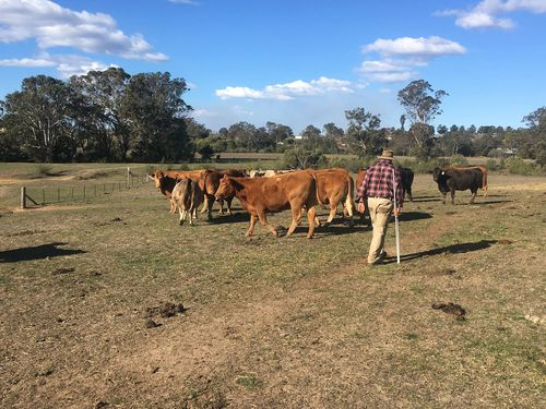 Craig Williams from Camden near Sydney has spent years refining his breed of cow, but is close to giving up.
