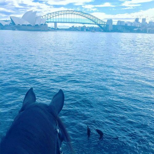 Sydney Harbour seal snapped 'waving' at police horse