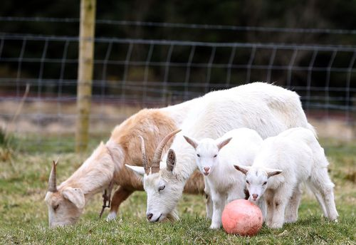Goat Daisy with her twin geep offspring. (AAP)