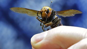 Larger hornet's can possess a stinger ca long enough to puncture a beekeeping suit.