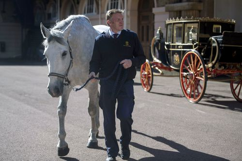 Philip Barnard-Brown at the Buckingham Palace Mews, leads a Windsor Grey, one of the four horses that will pull the carriage at the wedding of Prince Harry and Meghan Markle this month. (AAP)