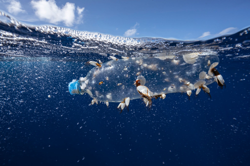 Barnacles hitch a ride on a plastic bottle in the Great Pacific Garbage Patch.