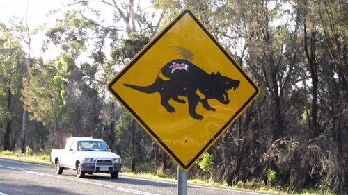Drivers warned as Tasmanian devils released into the wild