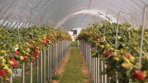 Perth strawberries