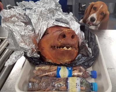 Chuffed Border Protection Beagle Sniffs Out Roast Pork In