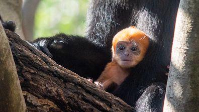 baby langur Taronga Zoo