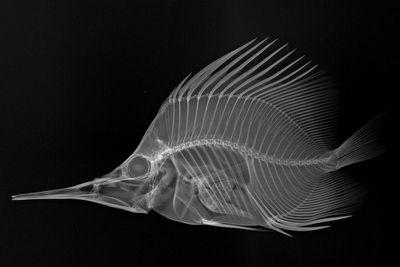 Longnose butterflyfish (Forcipiger longirostris)