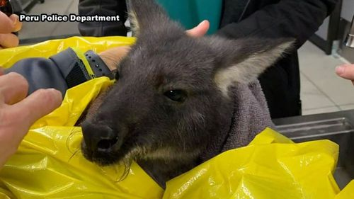 The wallaroo had to be rescued from freezing waters in an escape attempt.
