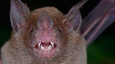 Pale-faced bat