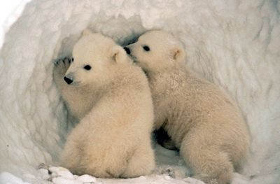 <strong>Twin bears</strong>