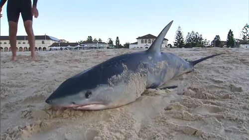 A two metre Mako shark shocked swimmers and surfers at Sydney's famous Bondi Beach this morning after it washed up onto the sand. Picture: 9NEWS.