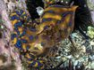 A blue-ringed octopus found at Coogee beach