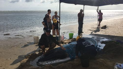 The newborn whale, believed to be about six weeks old, was found washed ashore in Hervey Bay this morning. (Facebook / Pacific Whale Foundation)